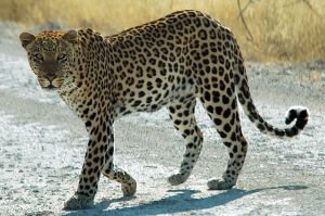 African Leopard (Panthera pardus pardus). [Image from Wikimedia Commons]
