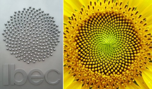 Ibec-Sunflower