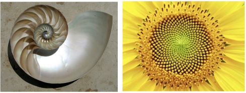 Nautulus-Sunflower