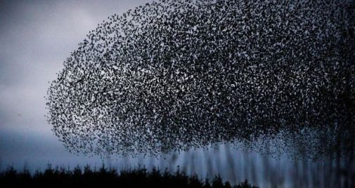 Flocking-Starlings-CyrilByrne
